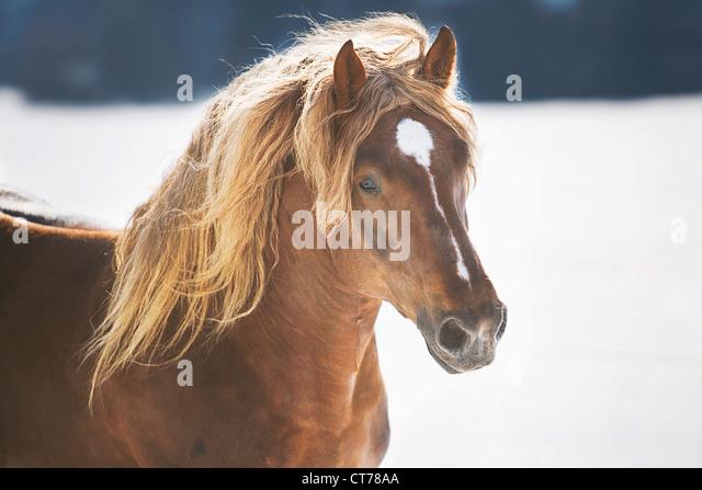 portrait of brown stallion - Stock Image