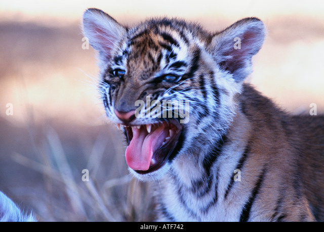 Bengal tiger cub Wildlife model - Stock-Bilder