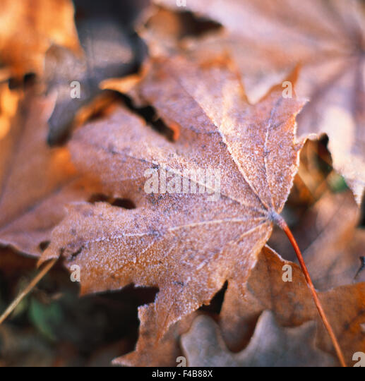 autumn leaves close-up color image detail environment frost leaf maple tree nature simplicity single object square - Stock-Bilder