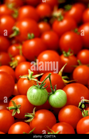 two little green tomatoes (like cherries) on many red tomatoes - Stock Image