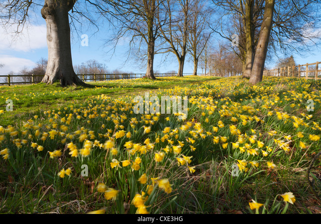Avenue of daffodils, near Hungerford, Berkshire, England, United Kingdom, Europe - Stock Image