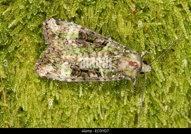 Green Arches (Anaplectoides prasina) adult resting on moss. Powys, Wales. July. - Stock Image