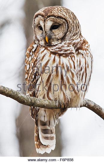 Barred Owl (Strix varia) - Stock Image