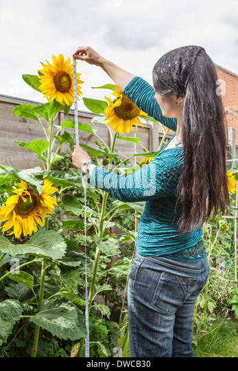 Mature woman measuring sunflowers in garden - Stock Image