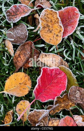 Frosted autumn leaves, Salisbury, Wiltshire, England. Autumn (November) 2011. - Stock Image