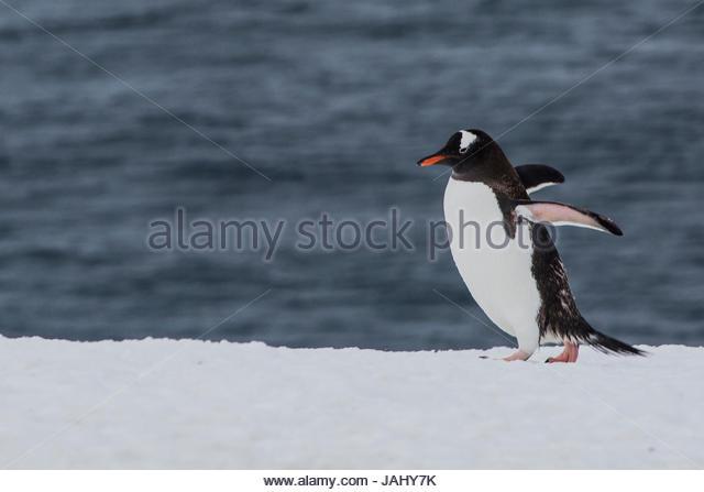 A lone Gentoo penguin, Pygoscelis papua, strolling near the sea on Booth Island, Antarctica. - Stock Image