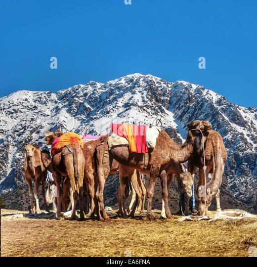 Morocco, Moroccan camels resting on Atlas Mountains Ourika - Stock Image