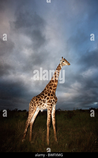 Giraffe (Giraffa camelopardalis) in dramatic light, Kruger National Park, Mpumalanga Province, South Africa - Stock Image