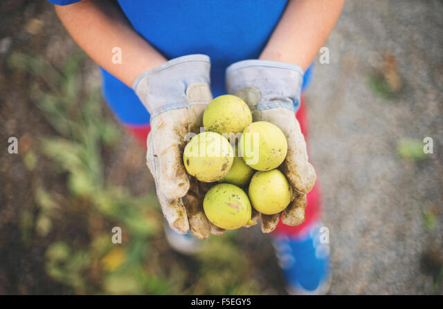 Hands holding freshly picked walnuts - Stock Image