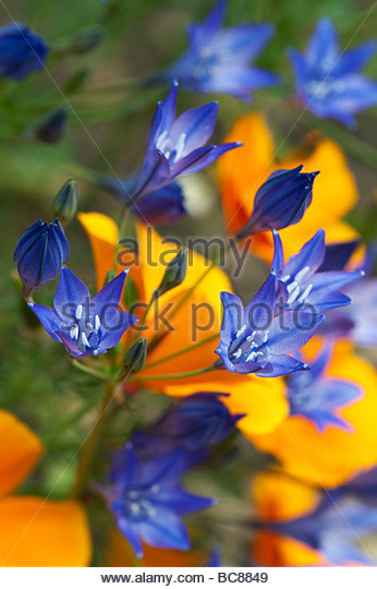 Triteleia laxa. Triplet lily / Lthuriels spear flowers planted in amongst califorian poppies at Ryton Organic centre. - Stock Image