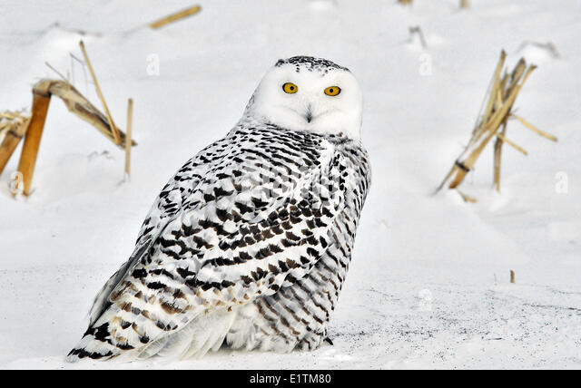 Snowy Owl, Nyctea scandiaca, St. Isadore, Ontario, Canada - Stock Image