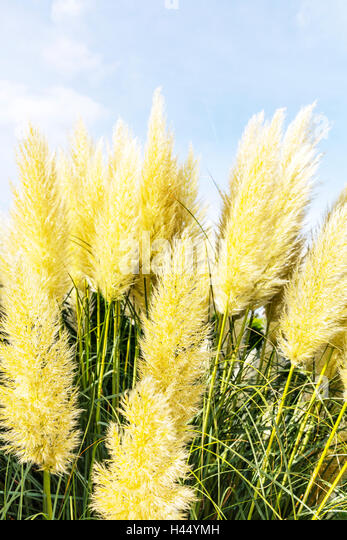 cortaderia flowering stock photos cortaderia flowering. Black Bedroom Furniture Sets. Home Design Ideas