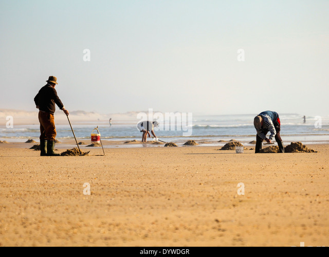 People digging for baits on the beach near Costa Nova, Portugal - Stock Image