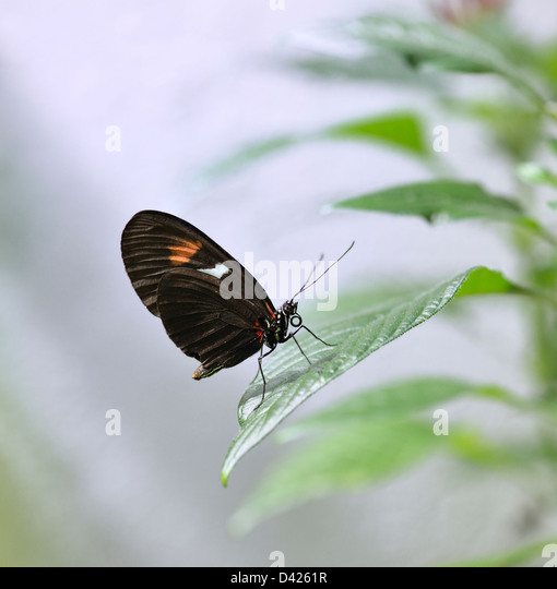 Tropical Butterfly On A Green Leaf - Stock Image