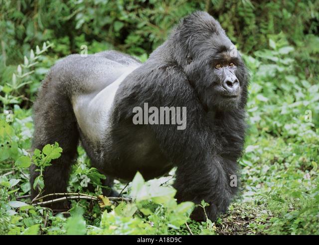 Silverback mountain gorilla Mgahinga National Park Uganda - Stock Image