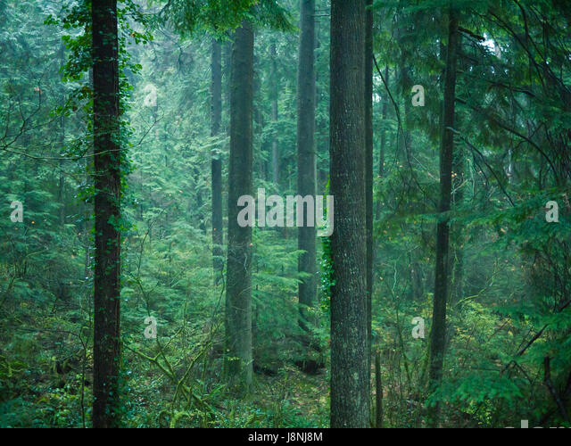 Douglas fir, Western red cedar, and Western hemlock trees in the temperate rainforest. Capilano Suspension Bridge - Stock Image
