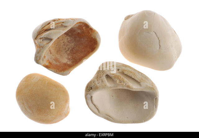 Fossilized cockles (Venericor planicosta / Megacardita planicosta) from the Eocene epoch on white background - Stock-Bilder