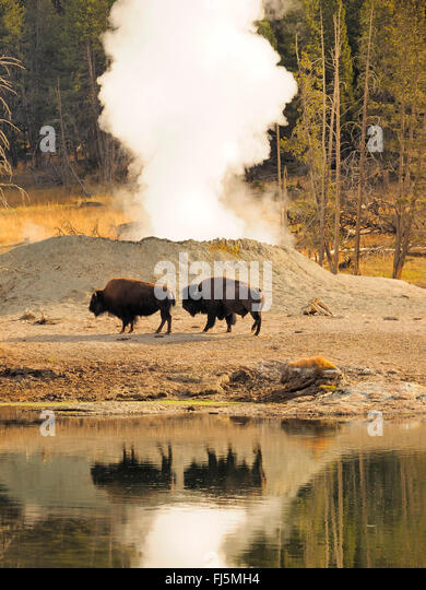 American bison, buffalo (Bison bison), buffalos in front of hot springs, USA, Wyoming, Yellowstone National Park, - Stock Image