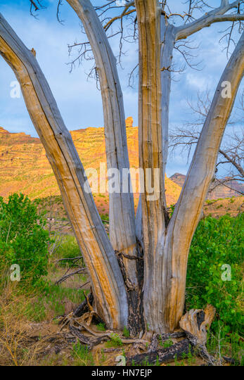 Cottonwood trees with bark falling off,  Desolation Canyon proposed Wilserness, Utah Green River   Populus fremontii - Stock-Bilder