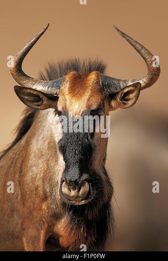Blue wildebeest (Connochaetes taurinus portrait close-up in Kgalagadi Transfrontier Park (South Africa) - Stock Image