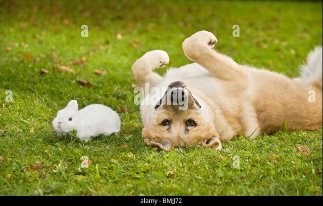 animal friendship : dog and Polish rabbit - Stock Image