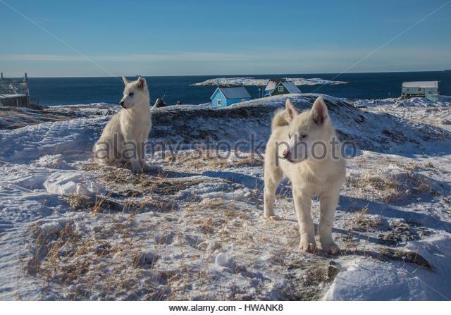 greenlandic sled dogs posing - Stock Image