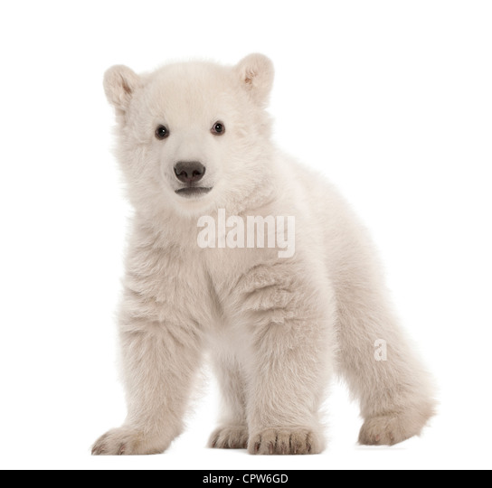 Polar bear cub,  Ursus maritimus, 3 months old, portrait against white background - Stock Image