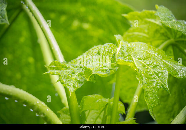papaya plant stock photos amp papaya plant stock images alamy