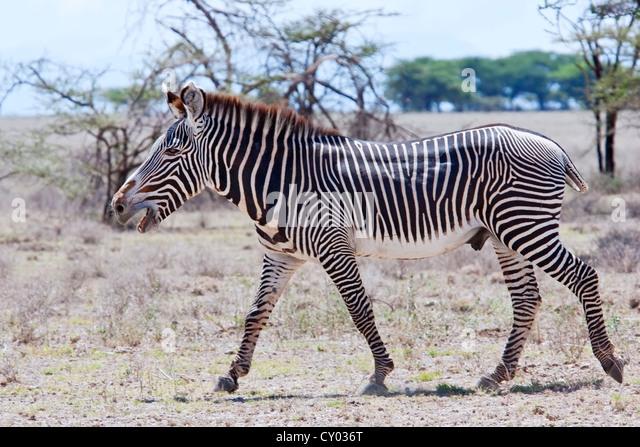 Grevy's zebra (Equus grevyi) single stallion braying, while walking in savanna, Kenya, East Africa - Stock Image