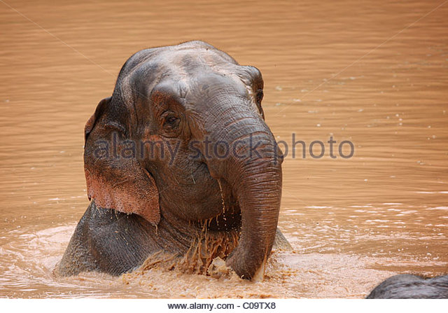 Rescued Elephants at The Elephant Sanctuary, Tennessee - Stock Image