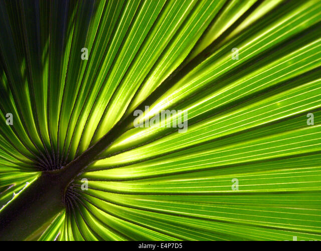 Detail of new frond of cabbage palm (Livistona sp.), Kakadu National Park, Northern Territory, Australia - Stock Image