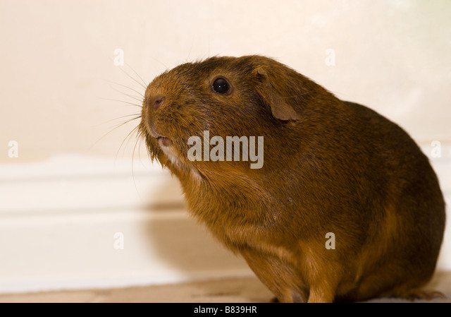 A short haired Guinea pig - Stock Image