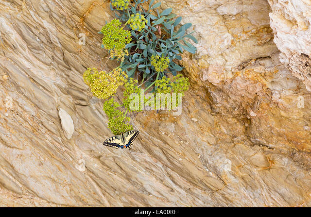 Swallowtail butterfly, 'papilo machaon', Cyprus - Stock Image
