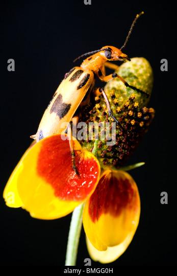 Blister Beetle - Los Novios Ranch - near Cotulla, Texas USA - Stock Image