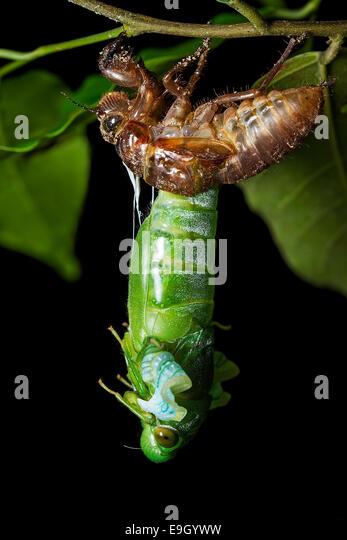 Adult Jade Green Cicada (Dundubia vaginata) emerging from nymph skin or exuvia at night in a Malaysian tropical - Stock Image