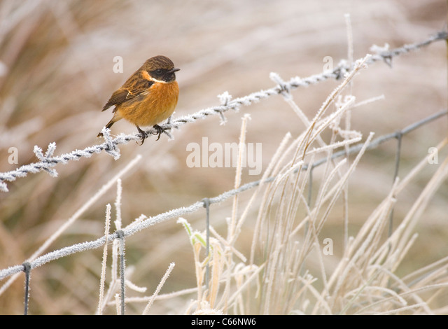 STONECHAT Saxicola torquata  Portrait of an adult male perched on a frost covered barbed wire fence  Scotland, UK - Stock-Bilder