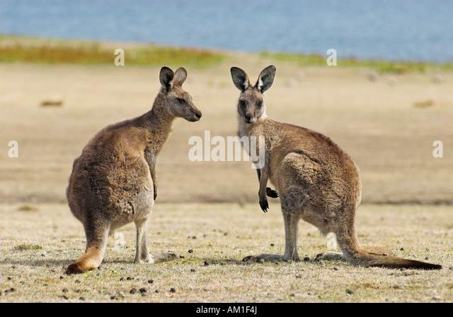 Eastern Grey Kangaroo, Macropus giganteus, Maria Island National Park, Tasmania, Australia - Stock Image