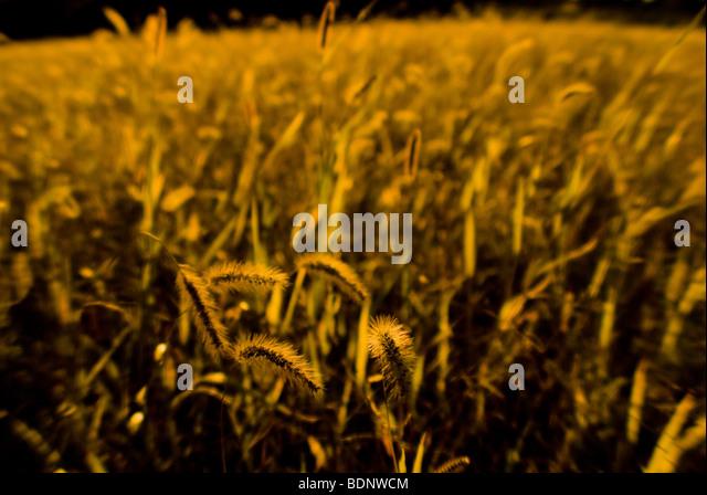 Golden grass - Stock Image