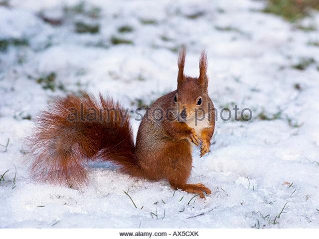Squirrel, Sciurus vulgaris - Stock Image