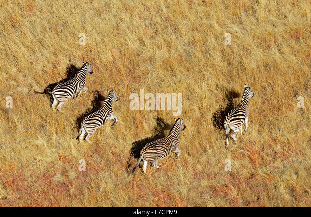 Aerial view of Plains (Burchells) Zebras (Equus burchelli) in grassland, South Africa - Stock Image