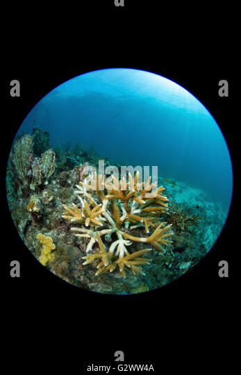 Staghorn coral battles elements in its struggle to grow following transplant. - Stock-Bilder