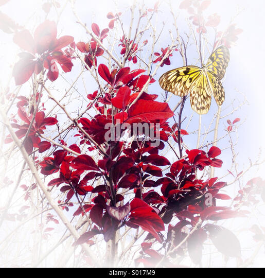Textured image of Paper kite butterfly perched on Black Plum Blossom Tree - Stock Image