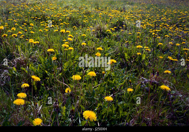 Wildflower meadow of dandelions in Cambridgeshire - Stock Image