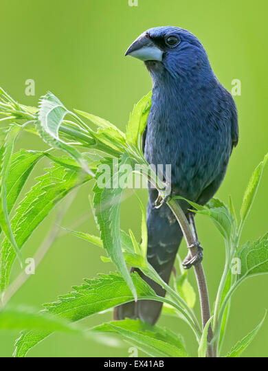 Blue Grosbeak on weeds - Stock-Bilder