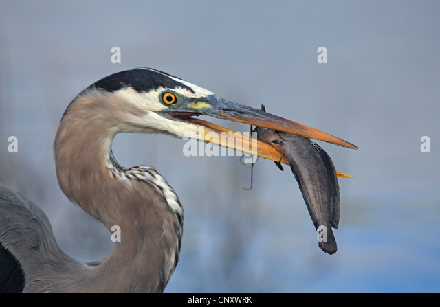great blue heron (Ardea herodias), with fish in its beak, USA, Florida, Everglades National Park - Stock Image