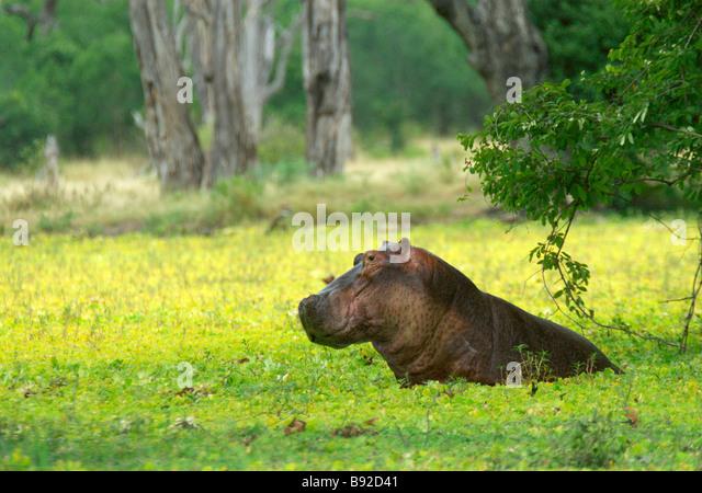 Large Hippopotamus (Hippopotamus amphibius) is seen in a large pool covered in Hyacinth. Mana Pools National Park, - Stock-Bilder