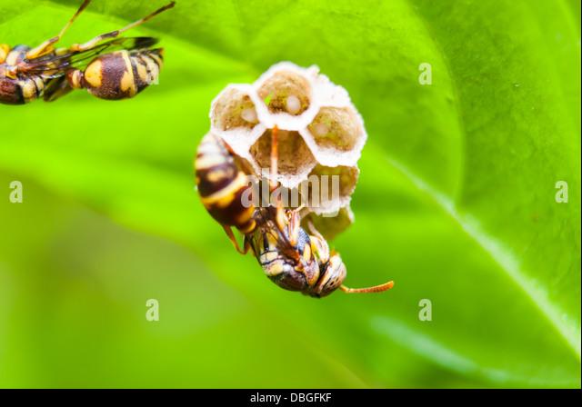 Wasp's Nest on Green Leaf. - Stock-Bilder
