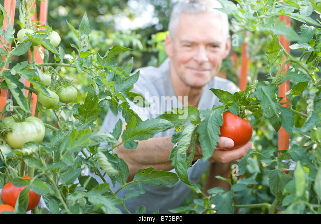 Senior man reaches out to pick tomato, Winnipeg, Canada - Stock Image