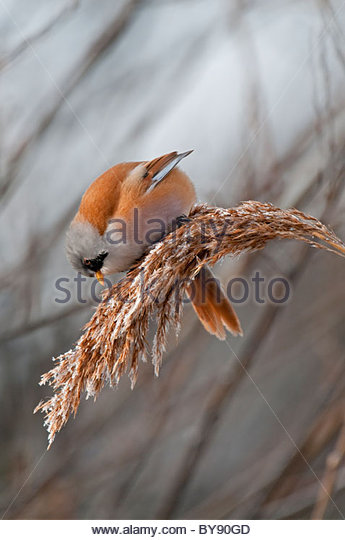 bearded tit feeding on seed heads - Stock Image