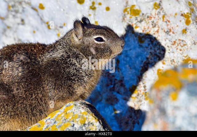 California ground squirrel - Stock Image